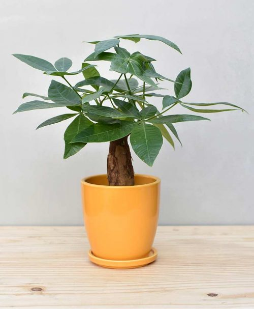 Ceramic Oval Pot Mustard Yellow with Exotic Money Tree – Pachira Aquatica 2