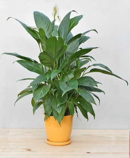 Ceramic Oval Pot Mustard Yellow with Exotic Peace Lily - Spathiphyllum 2