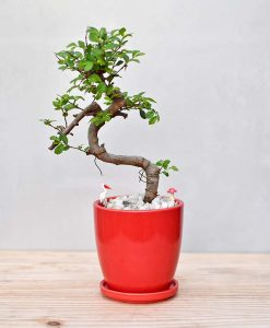 Ceramic Oval Pot Red with Elm Bonsai