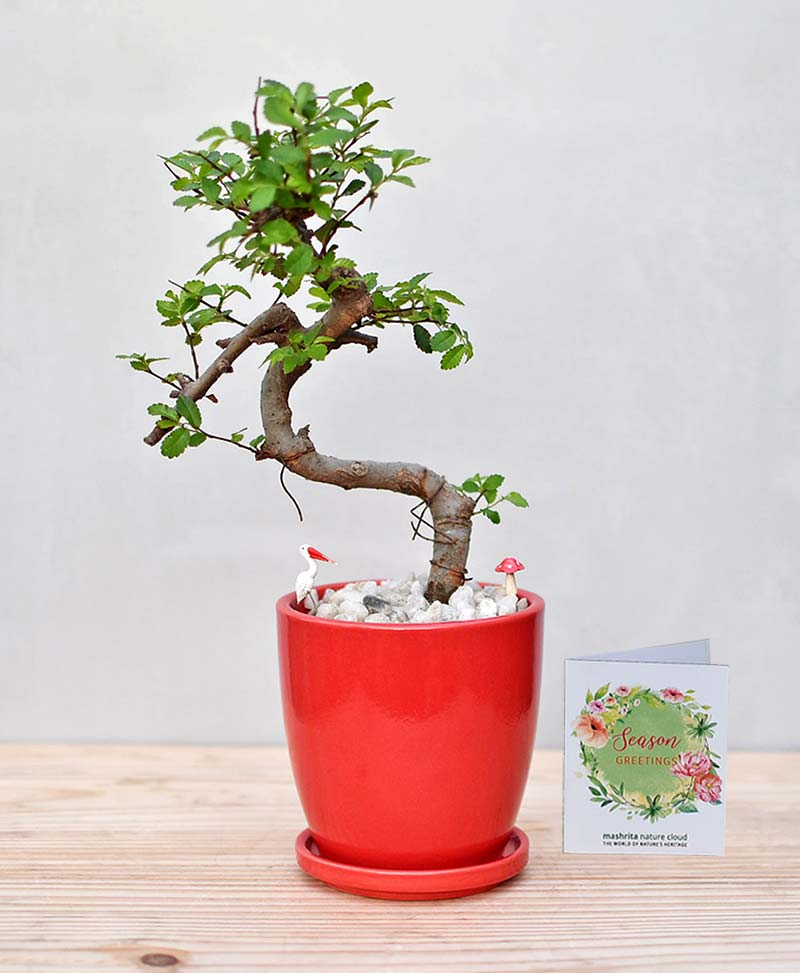 Ceramic Oval Pot Red with Elm Bonsai 2