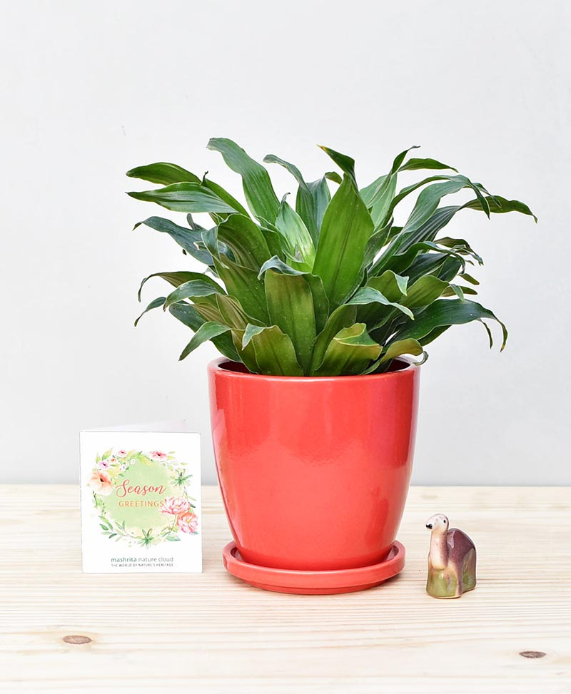 Ceramic Oval Pot Red with Exotic Draceana Compacta