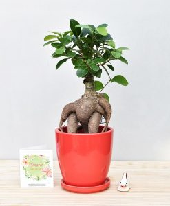 Ceramic Oval Pot Red with Exotic Ficus Ginseng – Ficus Microcarpa