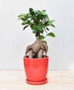 Ceramic Oval Pot Red with Exotic Ficus Ginseng – Ficus Microcarpa 2