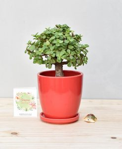 Ceramic Oval Pot Red with Exotic Jade Plant – Crassula Ovata