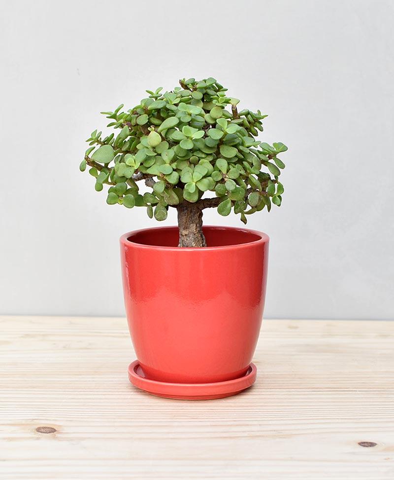 Ceramic Oval Pot Red with Exotic Jade Plant – Crassula Ovata