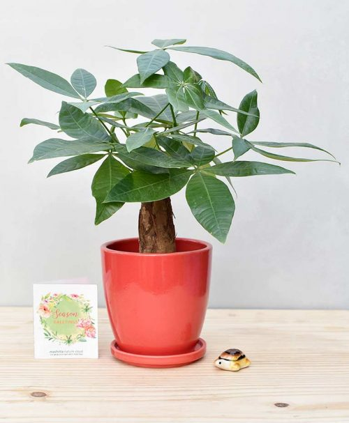 Ceramic Oval Pot Red with Exotic Money Tree – Pachira Aquatica