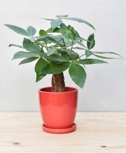 Ceramic Oval Pot Red with Exotic Money Tree – Pachira Aquatica 2