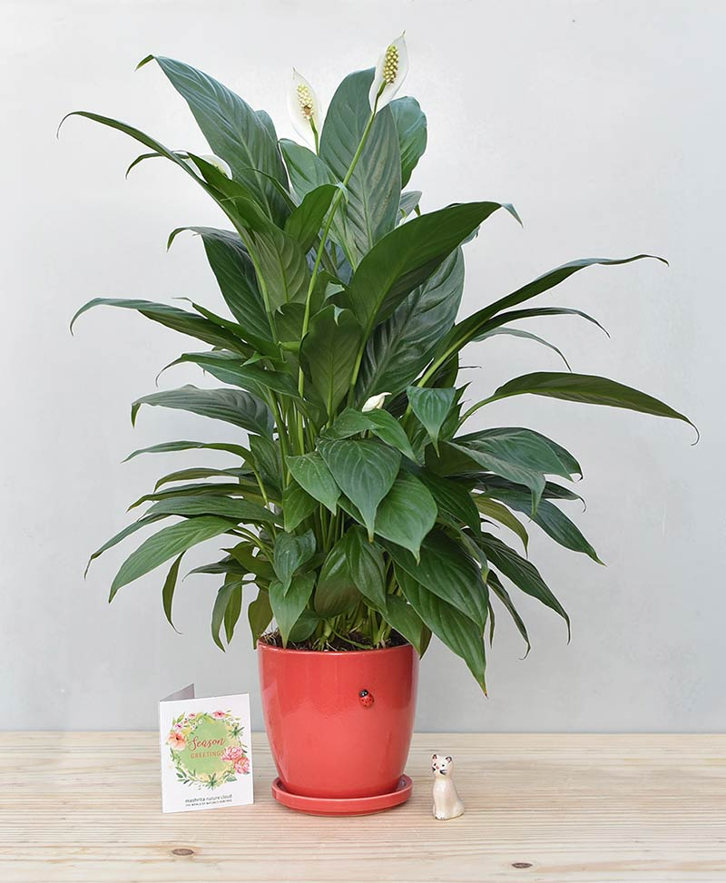 Ceramic Oval Pot Red with Exotic Peace Lily - Spathiphyllum