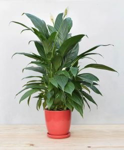 Ceramic Oval Pot Red with Exotic Peace Lily - Spathiphyllum 2