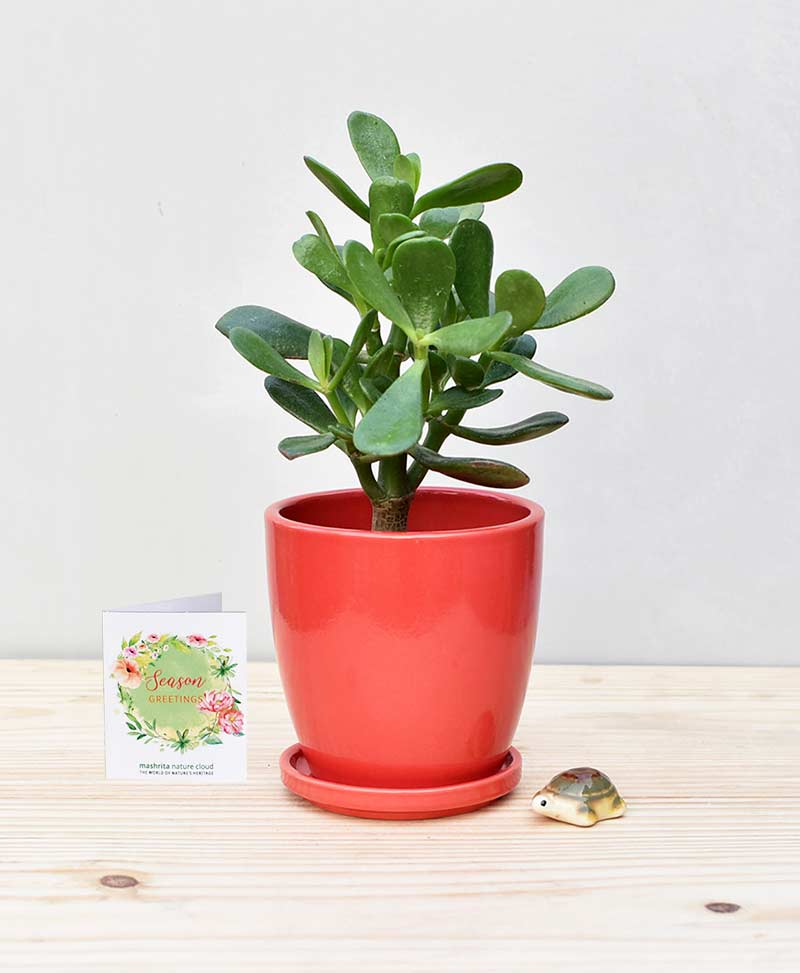 Ceramic Oval Pot Red with Jade Plant Fatty Leaves