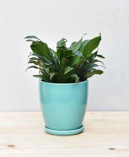 Ceramic Oval Pot Sea Green with Exotic Draceana Compacta 2