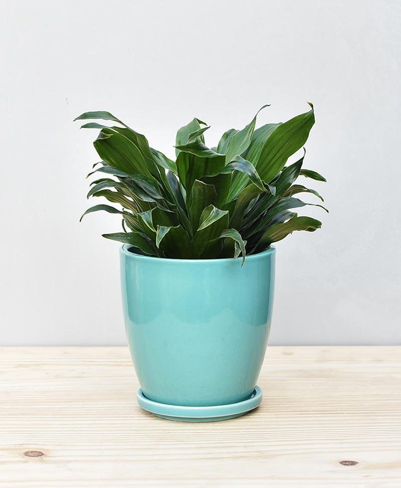 Ceramic Oval Pot Sea Green with Exotic Draceana Compacta