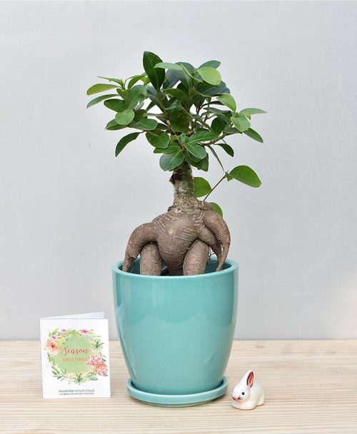 Ceramic Oval Pot Sea Green with Exotic Ficus Ginseng – Ficus Microcarpa