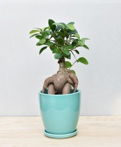 Ceramic Oval Pot Sea Green with Exotic Ficus Ginseng – Ficus Microcarpa 2