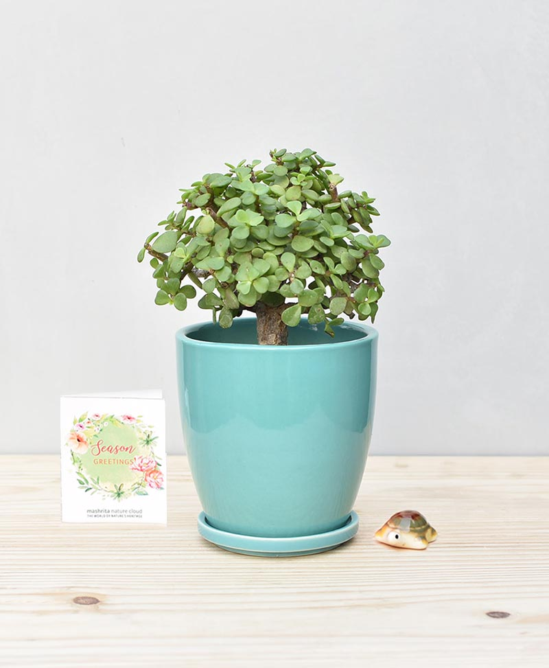 Ceramic Oval Pot Sea Green with Exotic Jade Plant – Crassula Ovata
