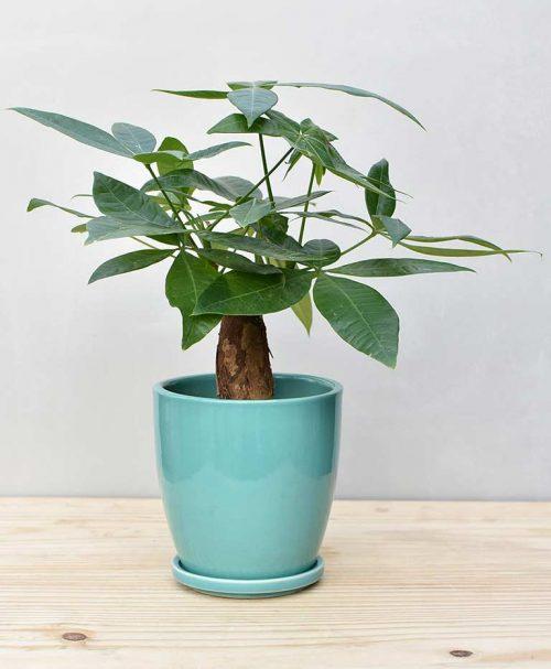 Ceramic Oval Pot Sea Green with Exotic Money Tree – Pachira Aquatica 2