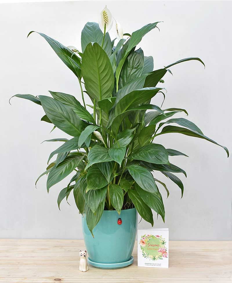 Ceramic Oval Pot Sea Green with Exotic Peace Lily - Spathiphyllum 1