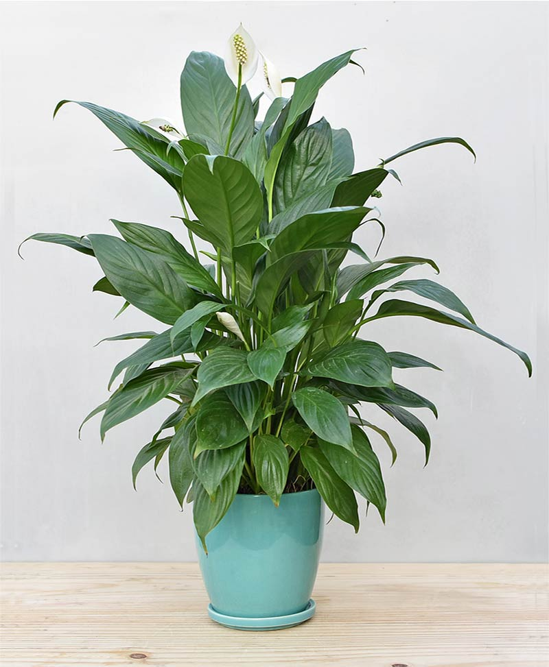 Ceramic Oval Pot Sea Green with Exotic Peace Lily - Spathiphyllum