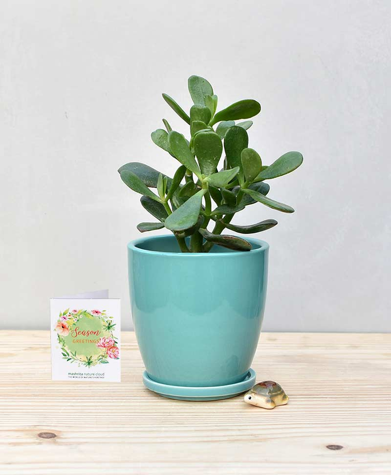Ceramic Oval Pot Sea Green with Jade Plant Fatty Leaves