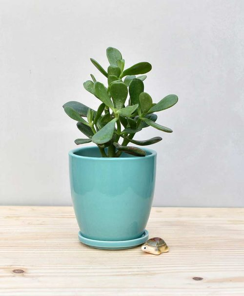 Ceramic Oval Pot Sea Green with Jade Plant Fatty Leaves 2
