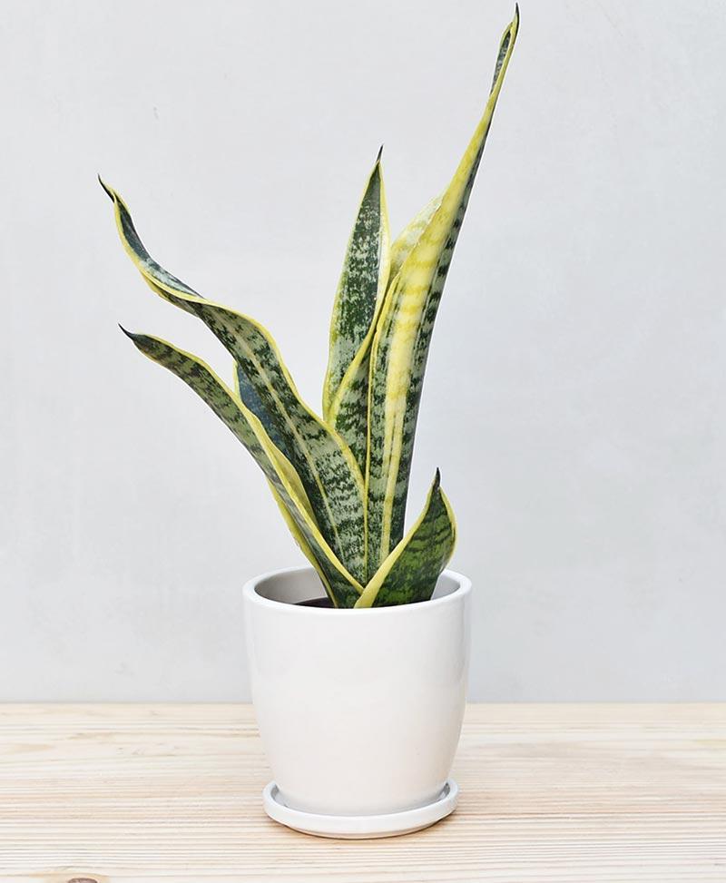 Ceramic Oval Pot White with Exotic Dwarf Snake Plant - Sansevieria Trifasciata Robusta