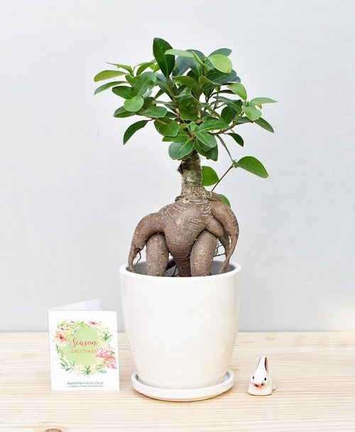 Ceramic Oval Pot White with Exotic Ficus Ginseng – Ficus Microcarpa