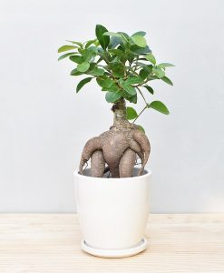 Ceramic Oval Pot White with Exotic Ficus Ginseng – Ficus Microcarpa 2