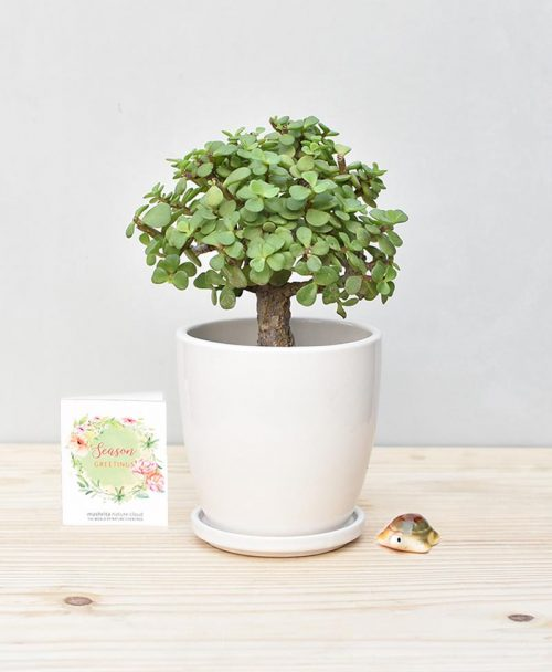 Ceramic Oval Pot White with Exotic Jade Plant – Crassula Ovata