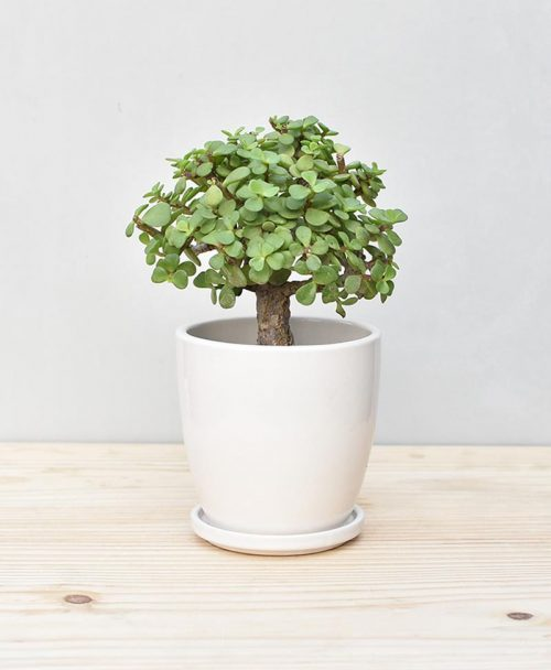 Ceramic Oval Pot White with Exotic Jade Plant – Crassula Ovata 2