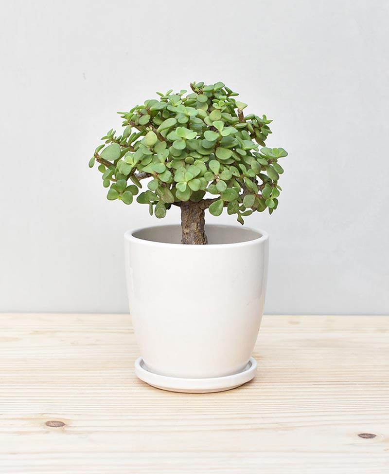 Ceramic Oval Pot White with Exotic Jade Plant – Crassula Ovata