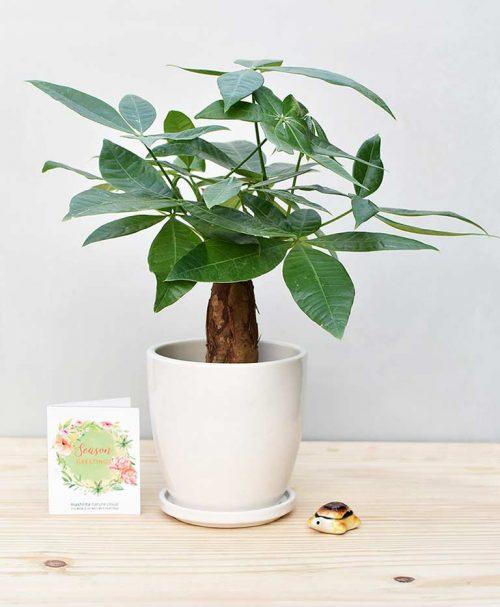 Ceramic Oval Pot White with Exotic Money Tree – Pachira Aquatica