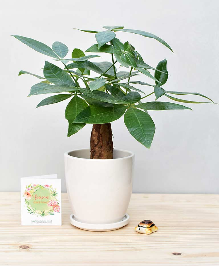 Ceramic Oval Pot White with Exotic Money Tree – Pachira Aquatica