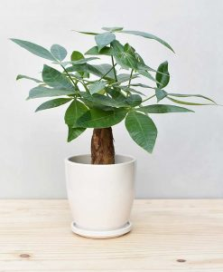 Ceramic Oval Pot White with Exotic Money Tree – Pachira Aquatica 2
