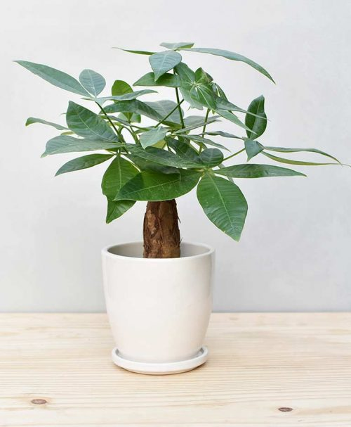 Ceramic Oval Pot White with Exotic Money Tree – Pachira Aquatica 2