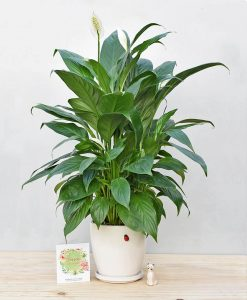Ceramic Oval Pot White with Exotic Peace Lily - Spathiphyllum