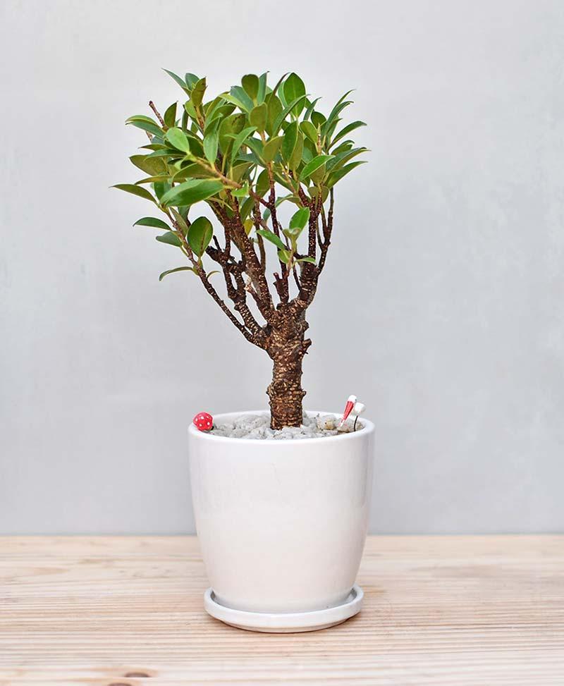 Ceramic Oval Pot White with Ficus Formosana Bonsai