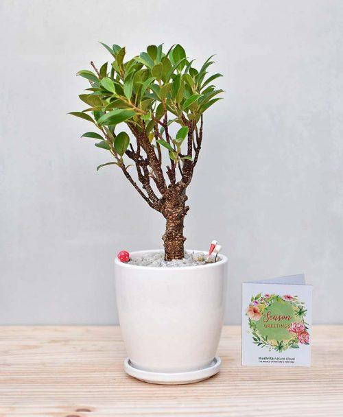 Ceramic Oval Pot White with Ficus Formosana Bonsai 2