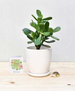 Ceramic Oval Pot White with Jade Plant Fatty Leaves