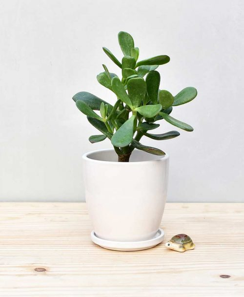 Ceramic Oval Pot White with Jade Plant Fatty Leaves 2