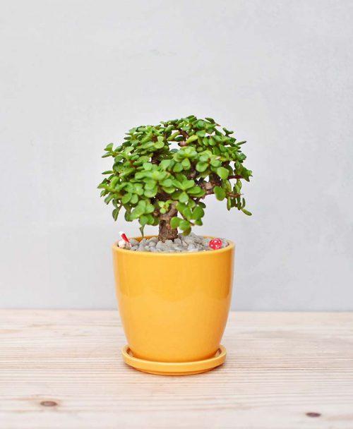 Ceramic Oval Pot Yellow with Crassula Bonsai
