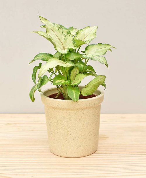 Ceramic Rim Pot Beige with Dwarf Syngoniums Compacta