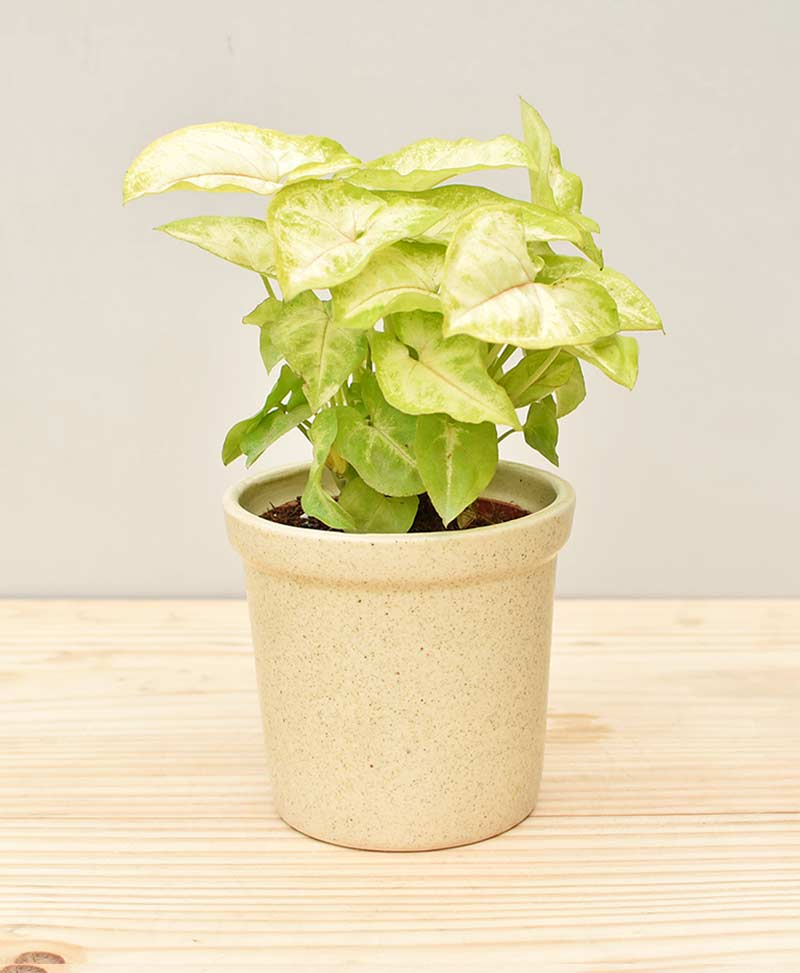 Ceramic Rim Pot Beige with Dwarf Syngoniums