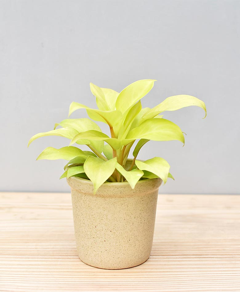 Ceramic Rim Pot Beige with Philodendron Golden