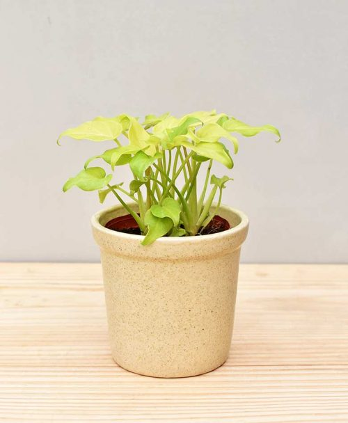 Ceramic Rim Pot Beige with Philodendron (Xanadu Golden)