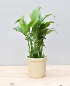 Ceramic Rim Pot Beige with Spathiphyllum (Peace Lily)