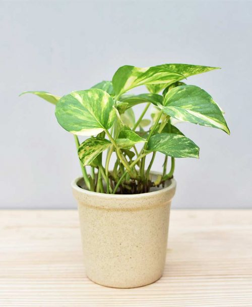 Ceramic Rim Pot Beige with Variegated Golden Pathos (Draceana)