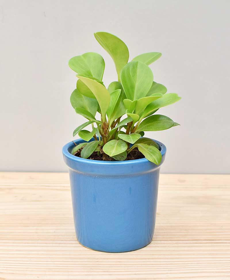 Ceramic Rim Pot Blue with Peperomia (Radiator Plant)
