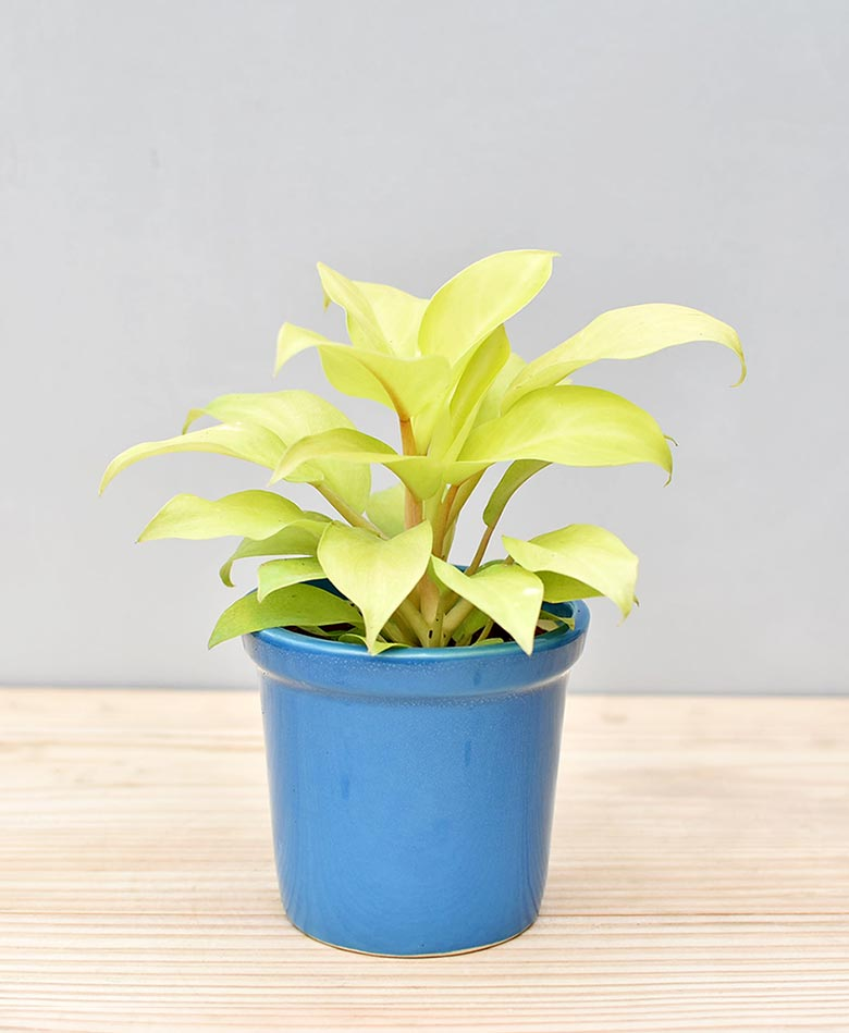 Ceramic Rim Pot Blue with Philodendron Golden