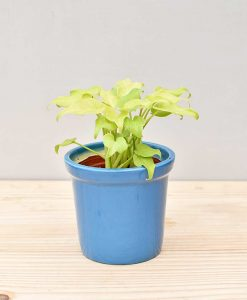 Ceramic Rim Pot Blue with Philodendron (Xanadu Golden)