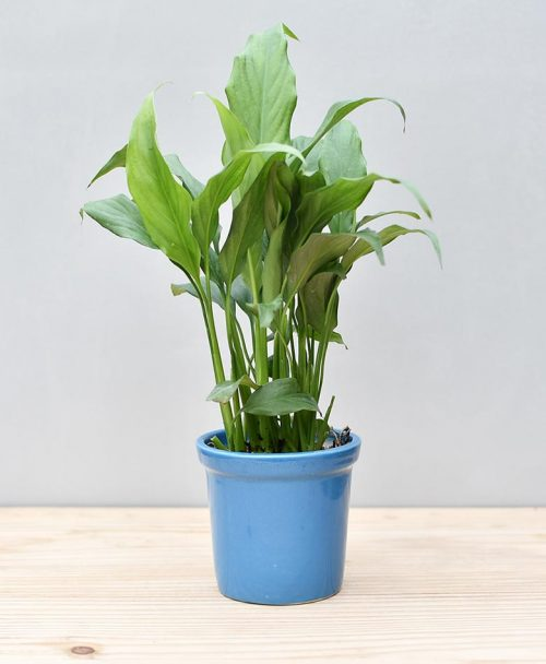 Ceramic Rim Pot Blue with Spathiphyllum (Peace Lily)